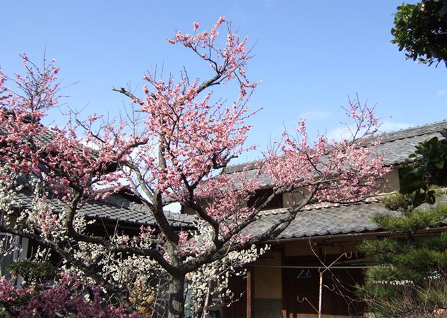 岡山県のあるお宅の紅白梅